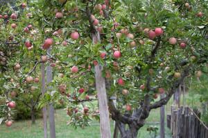 Szép gyümölcsfák